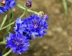 Bleuet (Centaurea cyanus)x640